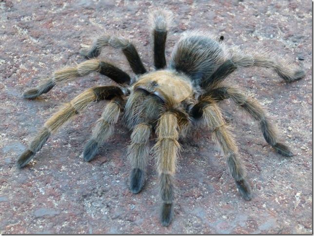 grotto tarantula